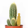 Picture of Plant Animals - meerkat
