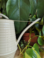 Picture of Small watering can - cream