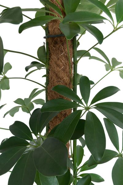Picture of Coir / moss pole 70cm