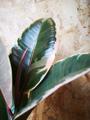 Picture of Ficus Elastica Tineke / Rubber Plant
