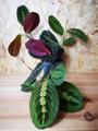 Picture of Maranta Leuconeura  'Red Stripe' / Tricolour Prayer Plant
