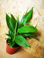 Picture of Spathiphyllum Alana / Peace Lily