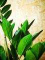 Picture of ZZ Plant / Zamioculcas Zamiifolia / Zanzibar Gem