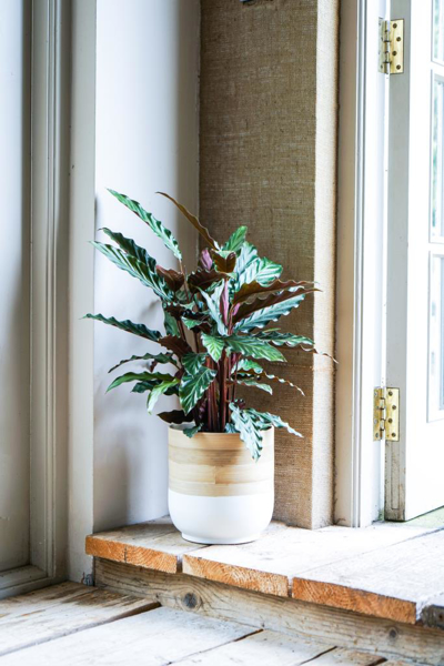 Picture of Large white bamboo pot | Ivyline