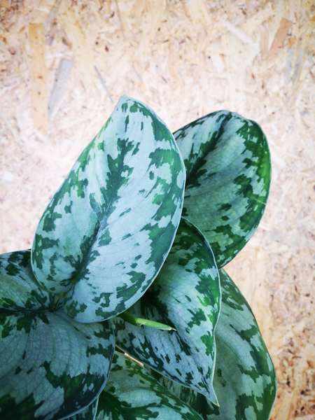 Picture of Scindapsus Pictus Trebie / Satin Pothos