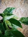 Picture of Epipremnum Pinnatum Marble Queen / Pothos / Devil's Ivy