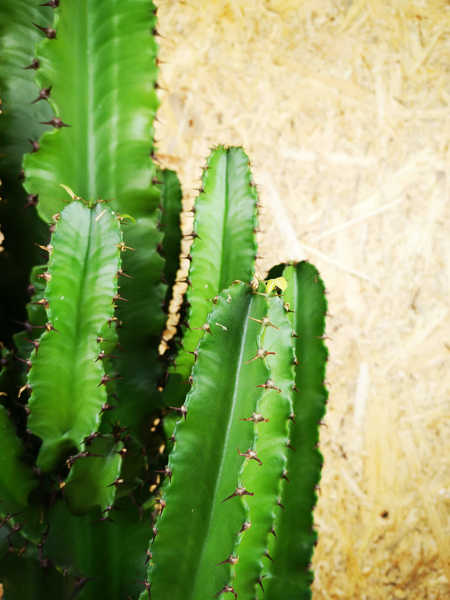 Picture of Euphorbia Ingens XL / Cowboy Cactus / Candelabra Tree