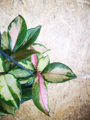 Picture of Hoya Carnosa Tricolour / Wax Plant