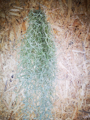 Picture of Tillandsia Usneoides / Spanish Moss