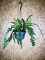 Picture of Epiphyllum Anguliger / Fishbone Cactus