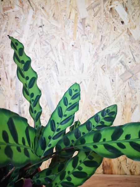 Picture of Calathea Lancifolia / Rattlesnake Plant / Prayer Plant