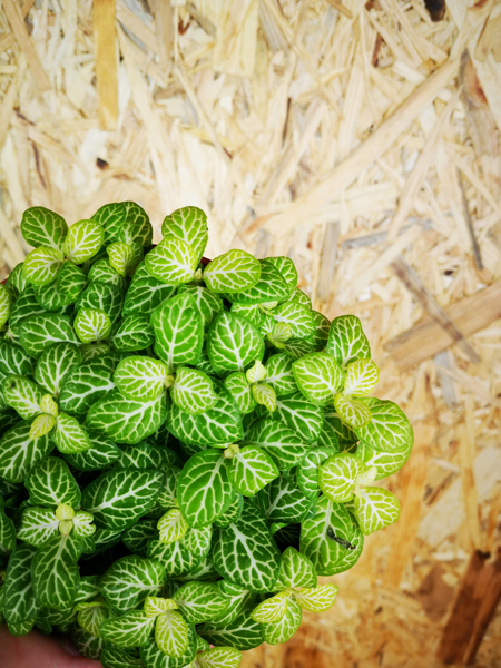 Picture of Fittonia - lime & white
