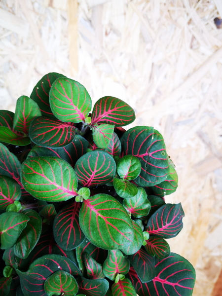 Picture of Fittonia - green & red