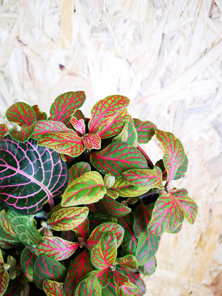 Picture of Fittonia - green & pink
