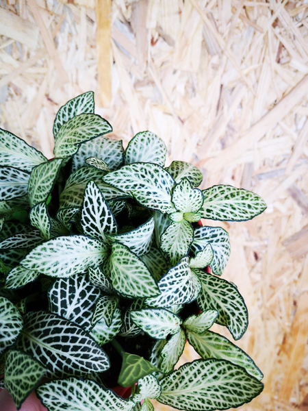 Picture of Fittonia - white & green