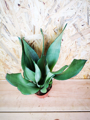 Picture of Sansevieria Trifasciata Moonshine  / Snake Plant / Mothers Tongue