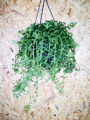 Picture of Senecio radicans 'String of Dolphins'