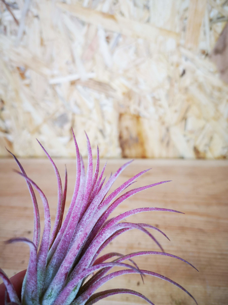 Picture of Tillandsia Ionantha Red / Air Plant