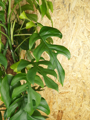 Picture of Large Rhaphidophora Tetrasperma / Philodendron Piccolo / Monstera Minima