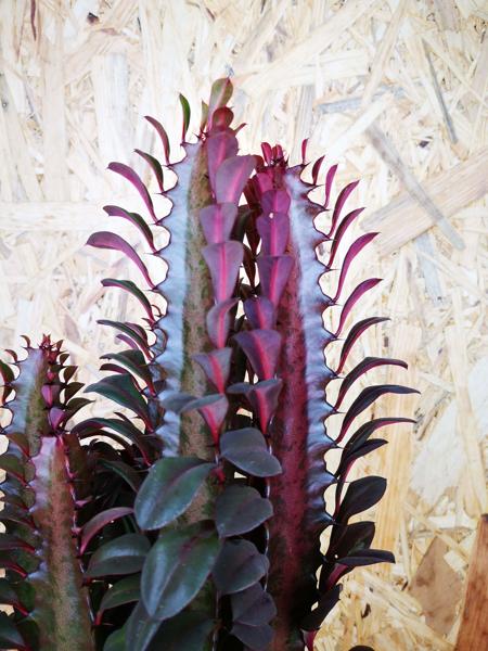 Picture of Euphorbia Trigona Rubra / African Milk Tree