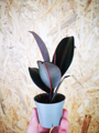 Picture of Mini Ficus Robusta Elastica / Rubber Plant