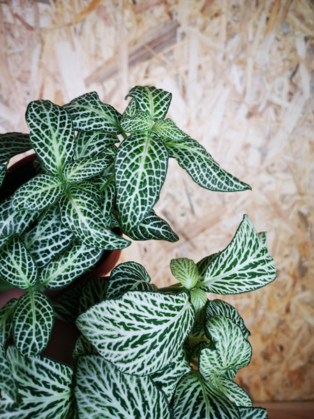 Picture of Small fittonia - white & green