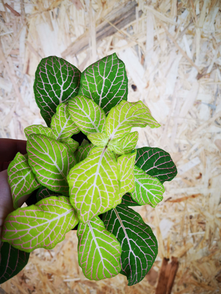 Picture of Small fittonia - mint & pale pink