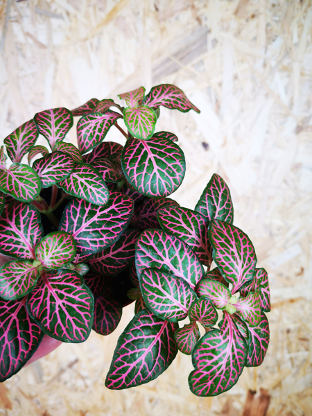 Picture of Small fittonia - dark green & pink