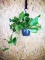 Picture of Large Epipremnum Pinnatum Aureum / Golden Pothos / Devil's Ivy