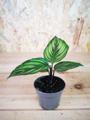 Picture of Calathea 'Beauty Star' /  Prayer Plant