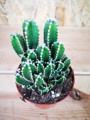 Picture of Mini Cereus Peruvianus 'Florida' / Cactus