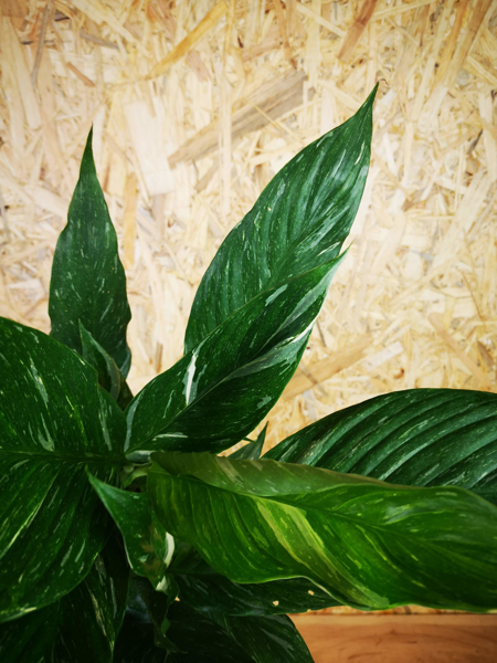 Picture of Spathiphyllum Variegata - 2 / Variegated Peace Lily
